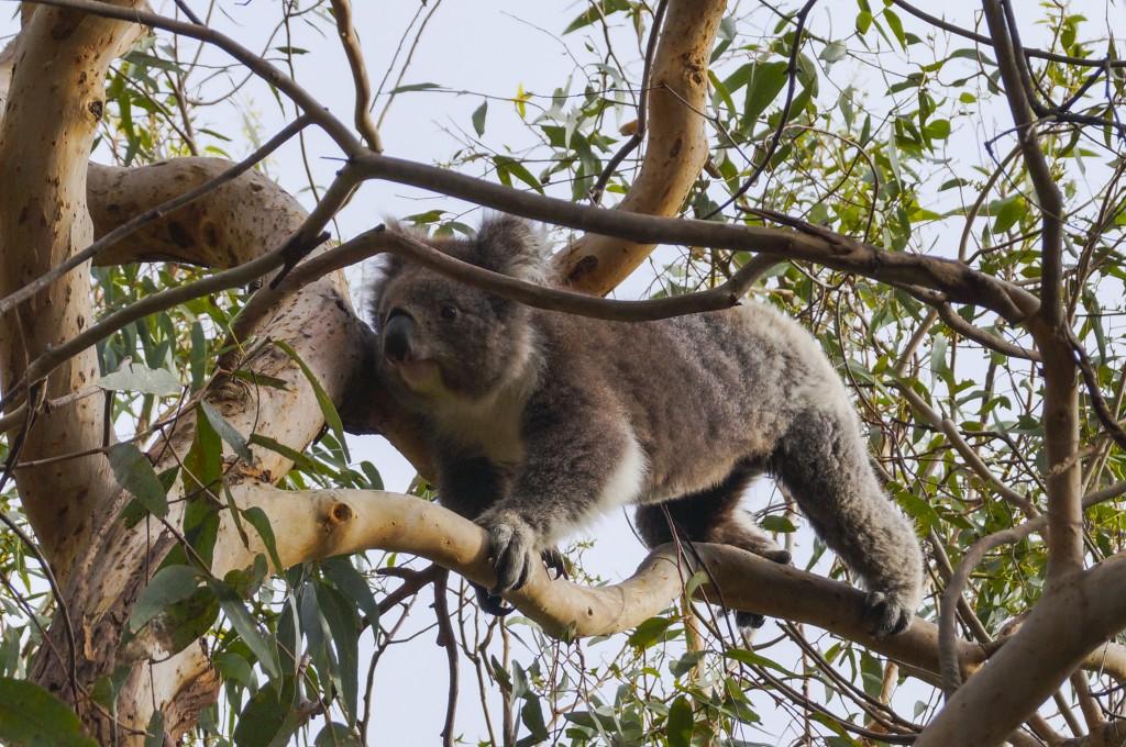 koala moving