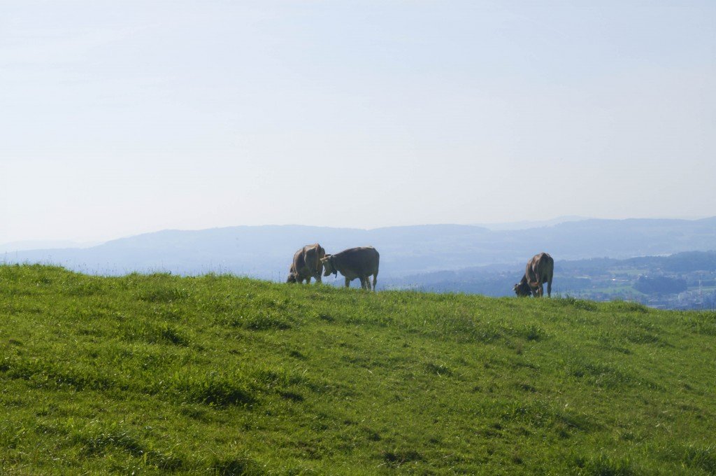 Swiss Cows near Zurich